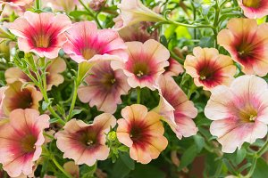 Flowering petunia plant