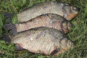 Fresh river fish carp on green grass