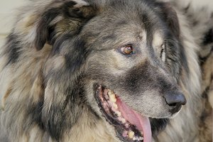 Portrait of caucasian shepherd dog in the yard , close up