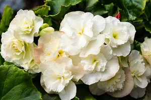White begonia flowers
