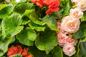 Red and pink begonias
