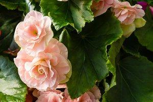 Flowering pink begonias