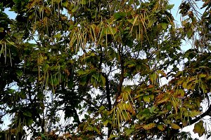 Catalpa and hanging seeds