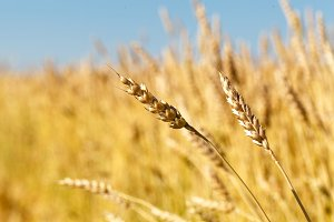 Ears of golden wheat