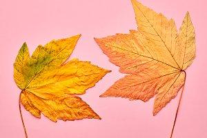 Autumn Fashion.Maple Leaves Couple.Minimal on Pink