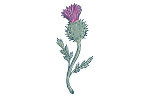 Scottish Thistle Drawing