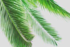 Fresh Tropical Palm Leaves