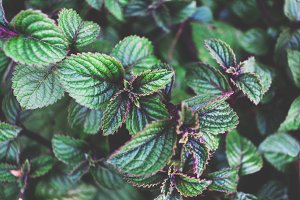 Dark Green and Purple Leaves