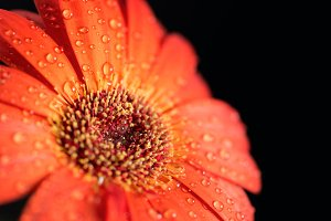 Gerbera flower with water drops
