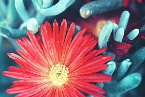 vintage picture of red big flowers on mystery blue green plants background. Autumn outdoor nature macro photo