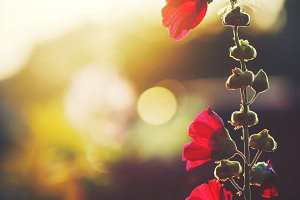 beautiful red flowers on natural evening sunlight background in autumn field. Outdoor fresh vintage photo
