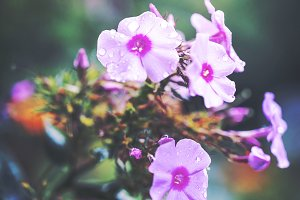 vintage colorful picture of pink little flowers an morning soft light in garden flowerbed. Autumn outdoor nature photo