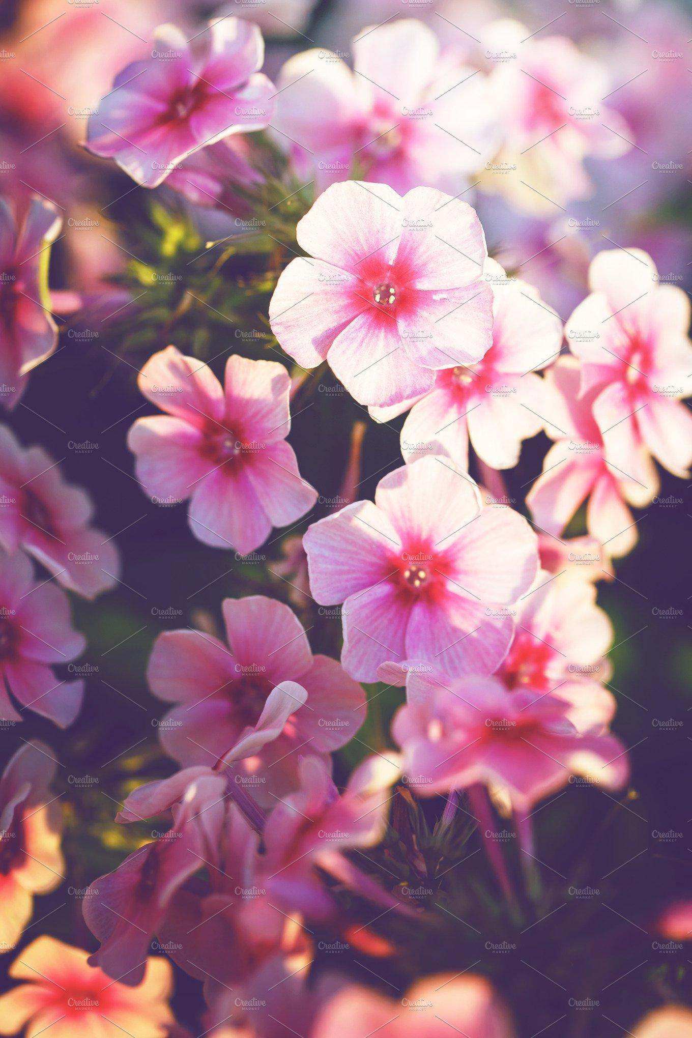 Vintage picture of pink little flowers an morning soft light in vintage picture of pink little flowers an morning soft light in garden flowerbed autumn outdoor nature macro photo nature photos creative market mightylinksfo