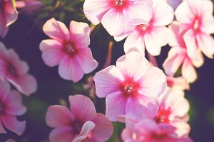 Beautiful meadow pink autumn flowers natural background nature vintage picture of pink little flowers an morning soft light in mightylinksfo