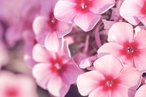 vintage picture of pink little flowers an morning soft light in garden flowerbed. Autumn outdoor nature macro photo