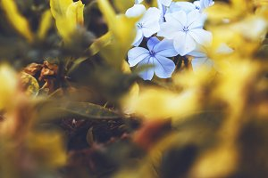 many soft blue decorative garden flowers on green yellow grass background in autumn flowerbed in evening sunlight. Outdoor vintage photo of nature