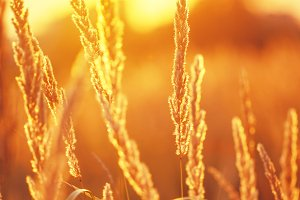 golden autumn background with dry plants in field at sunset