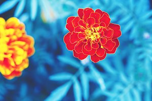 vintage photo of red flowers with unusual cold blue colors