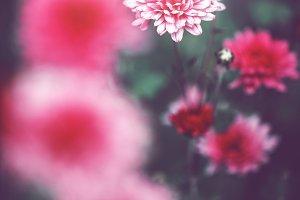 vintage pink flowers on natural dark background in garden