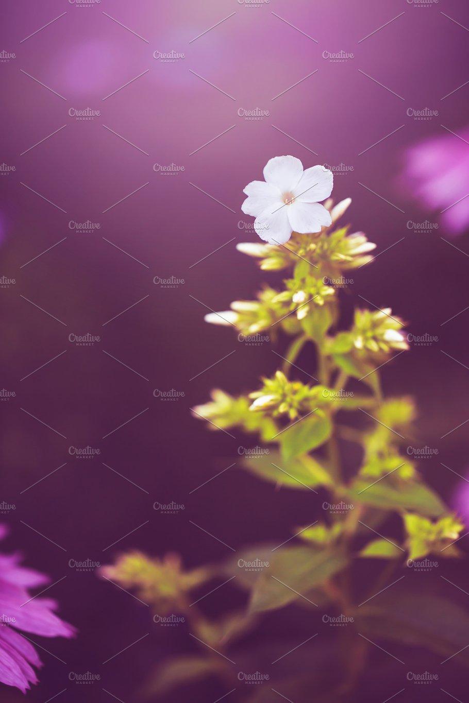 Little White Wild Meadow Autumn Flowers On Dark Pink Natural