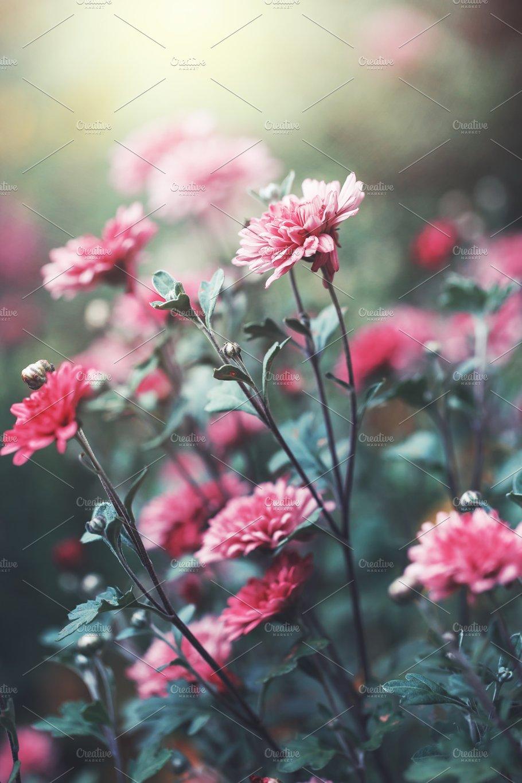 Vintage Outdoor Photo Of Beautiful Pink Garden Flowers In Flowerbed