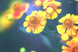 big red yellow autumn flowers on dark blue natural background. Vintage outdoor photo