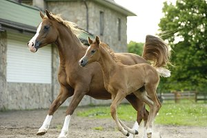 Arabian horse mare and foal running