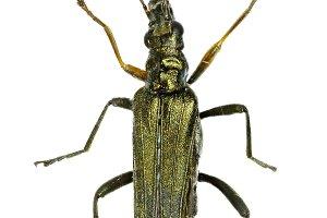 Pollen-Feeding Beetle