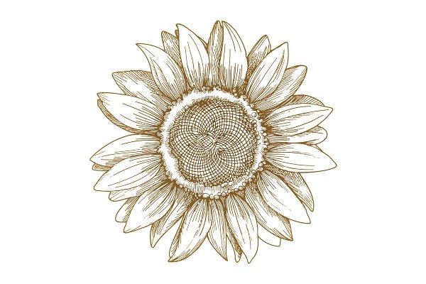 Sunflower sketch, vector