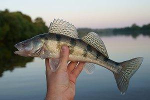 Volga zander (walleye variety)
