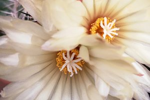 Stamens and flowers cactus