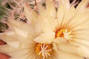 Stamens flowers cactus