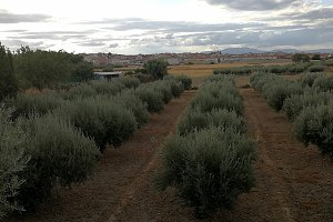Olives field and village