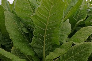 Tobacco branch on field