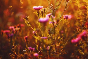 many pink meadow wild flowers in summer sunny field in evening sunset. Natural flower background