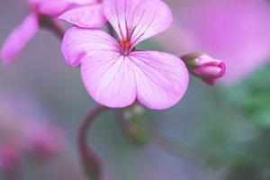 big pink meadow autumn flower. Natural outdoor garden photo