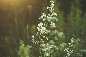 white flowers in green grass in forest in evening sunset. Natural vintage photo