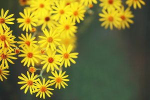 yellow autumn flowers on green natural background outdoor