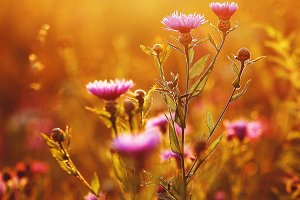beautiful meadow pink autumn flowers natural background