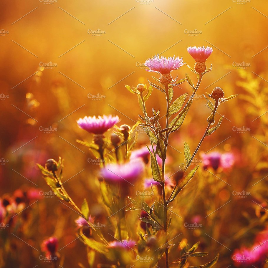 Beautiful Meadow Pink Autumn Flowers Natural Background Nature