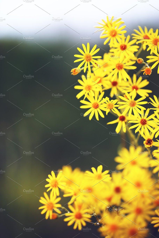 Many bright yellow flowers on dark natural background in summer many bright yellow flowers on dark natural background in summer field mightylinksfo