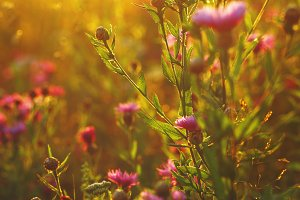 beautiful meadow pink autumn flowers. Outdoor natural sunny background