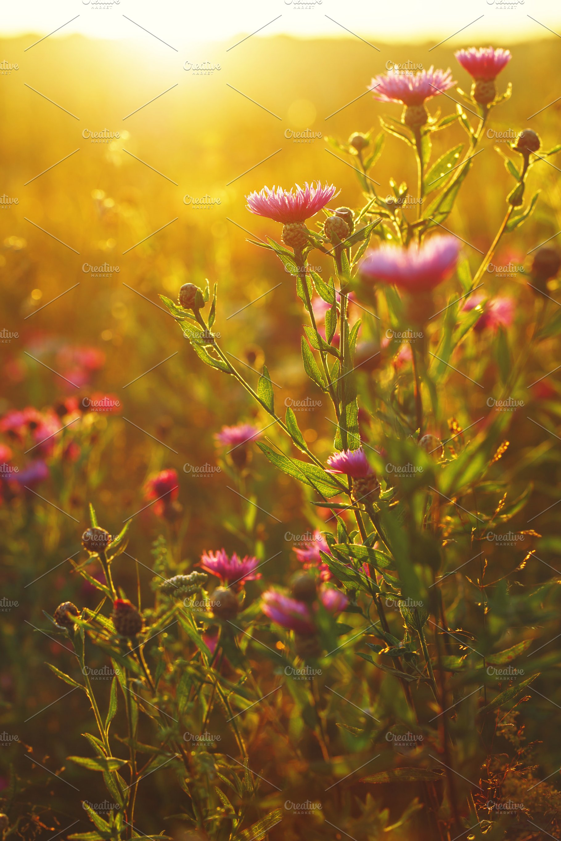 Beautiful Meadow Pink Autumn Flowers Outdoor Natural Sunny