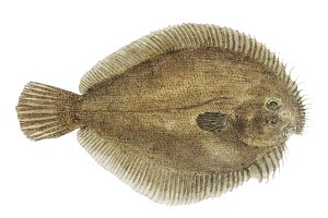 Antique drawing marine life (PNG)