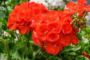 Red geranium in bloom