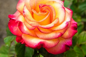 Colorful single rose blossom