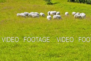 Herd of sheep, lamb and goats grazing in field