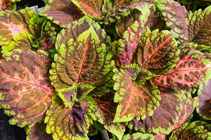 Coleus plant with colorful leaves