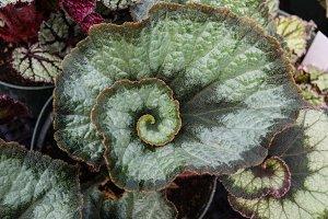 Spiral leaf begonia plant