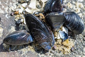 Mussels in an intertidal zone